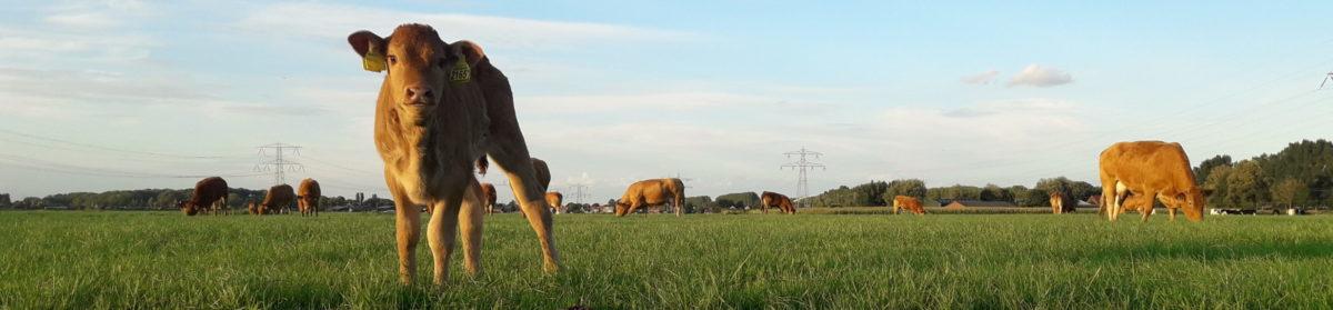 Limousin Vereniging Nederland